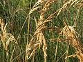 20151004Calamagrostis epigejos2.jpg