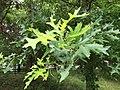 2016-06-23 16 19 58 Early summer (secondary) growth spurt on a Pin Oak in Franklin Farm Park in the Franklin Farm section of Oak Hill, Fairfax County, Virginia.jpg