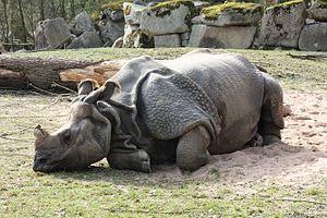 Indisches Panzernashorn im Zoo Hellabrunn (München)