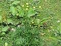2017-07-22 (29) Trollius europaeus (globeflower) at Dürrenstein (Ybbstaler Alpen).jpg