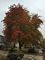 2017-11-09 15 04 51 Red Maple during late autumn along Kinross Circle near Kinbrace Road in the Chantilly Highlands section of Oak Hill, Fairfax County, Virginia.jpg