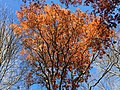 2017-11-23 13 03 46 View up into the canopy of several trees during late autumn along Stone Heather Drive near Stone Heather Court in the Franklin Farm section of Oak Hill, Fairfax County, Virginia.jpg