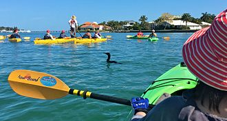 Ecotourism - Ecotour guide stands on a kayak spotting dolphins and manatees, around Lido Key