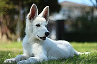 White Shepherd Puppy