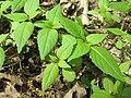 20200412Impatiens parviflora1.jpg