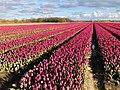 20210507 tulpenvelden1 in Balloo.jpeg