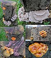 4 sorts of mushrooms at 1 Chestnut stump at Zypendaal, Pale Oysterling (above), Olive Oysterling (Middle), purple Ascotremella (middle) and brown Golden needles (down) - panoramio.jpg