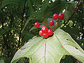 9 berries Viburnum in October 2008.jpg