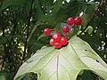 9 berries Viburnum in October 2008.jpg