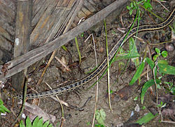 AB025 buff striped keelback 8.jpg