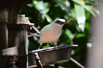 Bali myna - Image: A Bali Starling or Rothschild Mynah at the Waddesdon Aviary