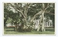 A Banyan Tree, Palm Beach, Fla (NYPL b12647398-75642).tiff