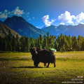 A Yak at Rama Meadows.png