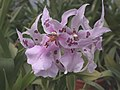 A and B Larsen orchids - Beallara Peggy Ruth Carpenter DSCN9269.JPG
