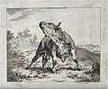 A bull standing in an enclosure craning its neck. Etching. Wellcome V0020689.jpg