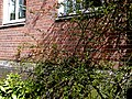 A close-up of flowering flora and creepers on the brick wall of the former warehouse; Amsterdam, 2013.jpg