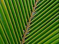 A coconut palm leaf at Madhurawada.JPG