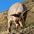 A foraging blue sheep.jpg