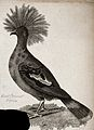 A great crowned pigeon. Etching by J. Le Keux. Wellcome V0020725.jpg