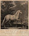 A horse with an abnormally coloured coat standing in a paddo Wellcome V0021160.jpg