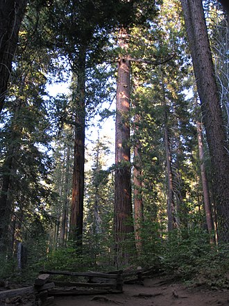 Tuolumne Grove - Image: A late afternoon in Tuolumne Grove IMG 4198