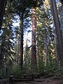 A late afternoon in Tuolumne Grove IMG 4198.jpg
