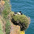 A pair of snoozing puffins - geograph.org.uk - 1329617.jpg