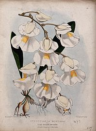 A plant (Utricularia montana); flowering stem. Coloured lith Wellcome V0044404.jpg