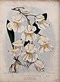 A plant (Utricularia montana); flowering stem. Coloured lith Wellcome V0044404.jpg
