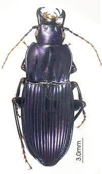 Abacomorphus caledonicus ZooKeys-147-337-g027.jpg