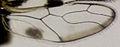 Abelopsocus basipunctatus hind wing.jpg
