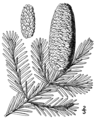 Abies balsamea drawing.png