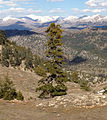 Abies cilicica - Taurus fir - Sapin de Cilicie 02.JPG