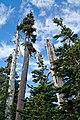 Abies lasiocarpa Hurricane Ridge.jpg