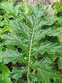 Acanthus mollis 02 by Line1.JPG