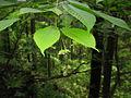 Acer carpinifolium 2.JPG