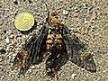 Acherontia atropos (Sphingidae) (Death's Head Hawkmoth) - (imago), Sardegna, Italy - 2.jpg