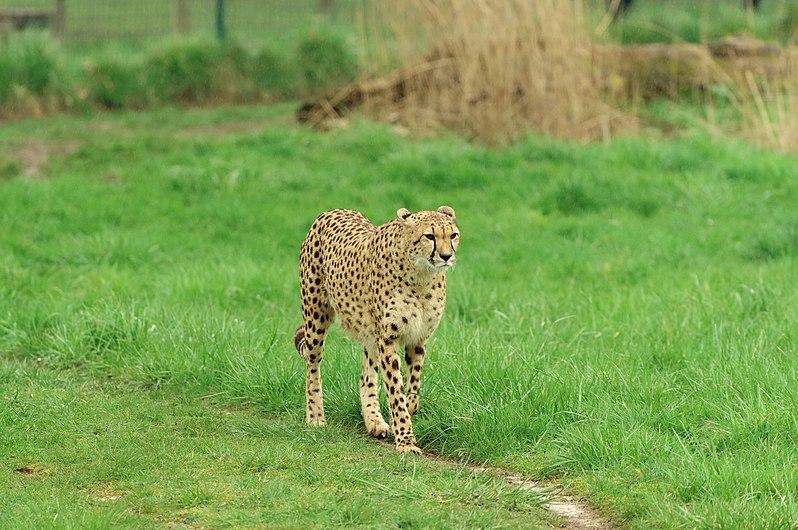 Acinonyx jubatus at Parc des Félins 06.jpg