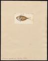 Acronurus argenteus - 1700-1880 - Print - Iconographia Zoologica - Special Collections University of Amsterdam - UBA01 IZ13700055.tif