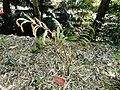 Actinokentia divaricata - Val Rahmeh - DSC04450.JPG