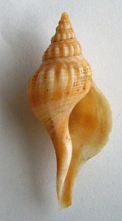 <i>Aeneator</i> (gastropod) genus of molluscs