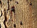 Aesculus hippocastanum PICT3572.jpg