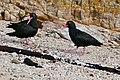 African Black Oystercatchers (Haematopus moquini) (32747172352).jpg