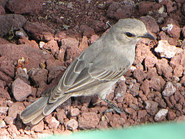 African Grey Flycatcher.jpg