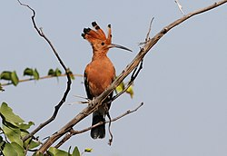African Hoopoe, Upupa africana (Upupa epops) at Mapungubwe National Park, Limpopo, South Africa (18329102546).jpg