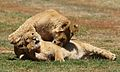 African lion, Panthera leo feeding at Krugersdorp Game Park, South Africa (29956960762).jpg