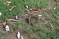 Agama femelle ponte d'œufs 10.jpg