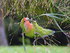 Agapornis roseicollis -eating grass seeds-8.jpg