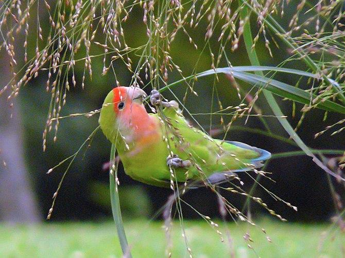 English: A feral Peach-faced Lovebird (Agaporn...