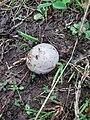 Agaricus bisporus, Agaricaceae 01.jpg